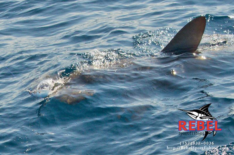 Fishing photos sharks va beach fishing charter boat for Deep sea fishing va beach